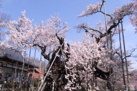 Yamataka Jindai Sakura