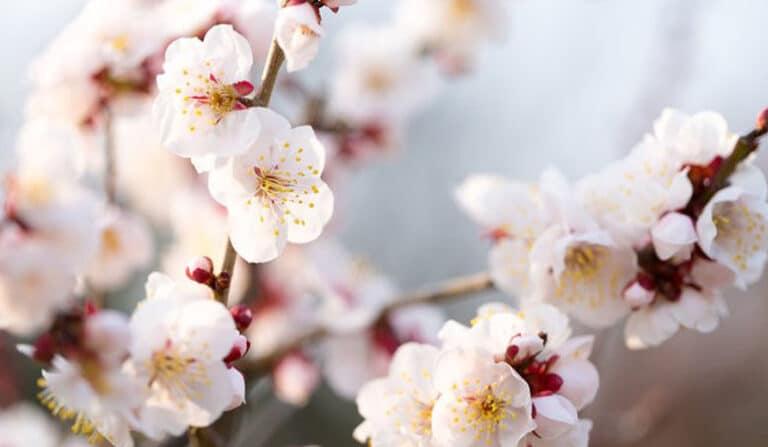 Sakura, ume czy momo?