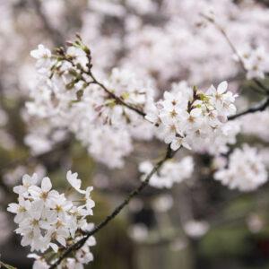 Przewodnik eksperta od kwitnienia wiśni na temat oglądania kwiatów