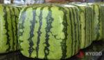 Kwadratowe arbuzy gotowe do wysyłki