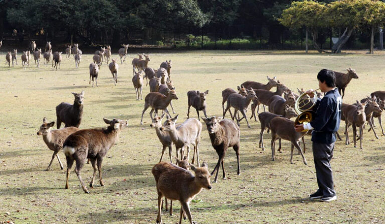 Jelonki z Nara wracają do lasu