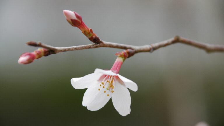 Sakura słówka