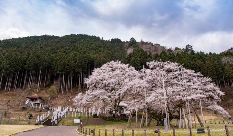 Usuzumi-zakura